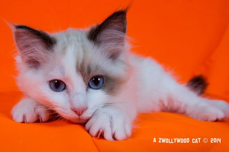 2014: Lightning A Zwollywood Cat. 13 Weeks old Ragdoll kitten, seal bicolour. Cars litter.