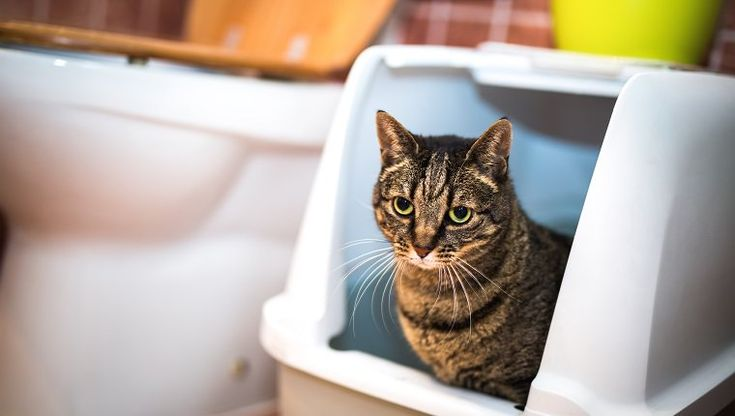 Diarrhea In Cats Symptoms, Causes, And Treatments Cat