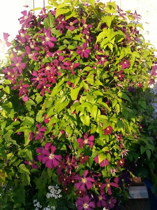 Wall of Clematis