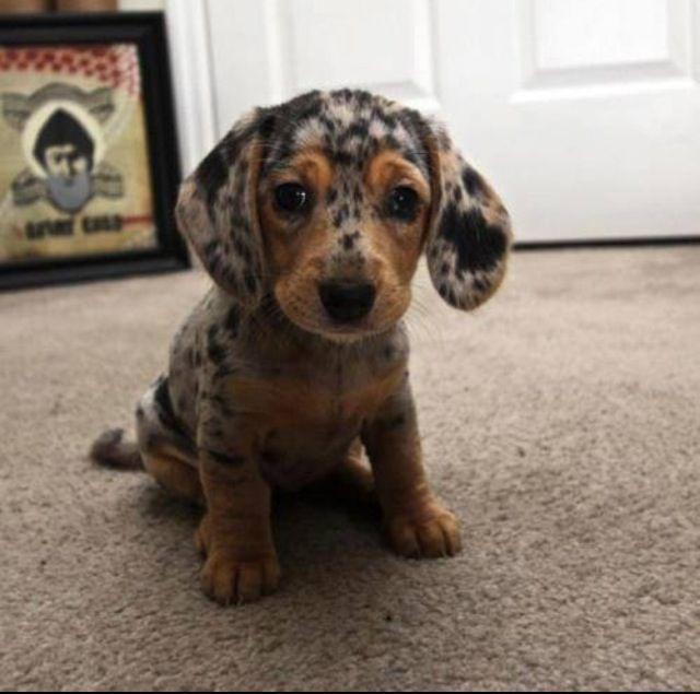 Beassie (Beagle-Aussie Mix) OMG sooo cute!