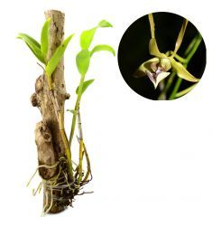Dendrobium Bicaudatum Rp 166,000