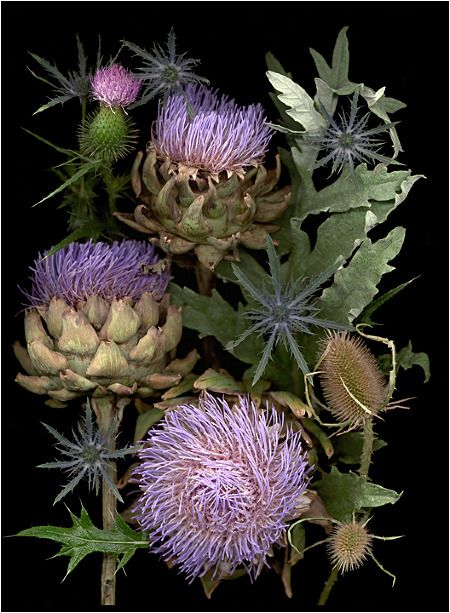 Thistle by Ellen Hoverkamp. Organic gardening scans and photography                                                                                                                                                                                 More