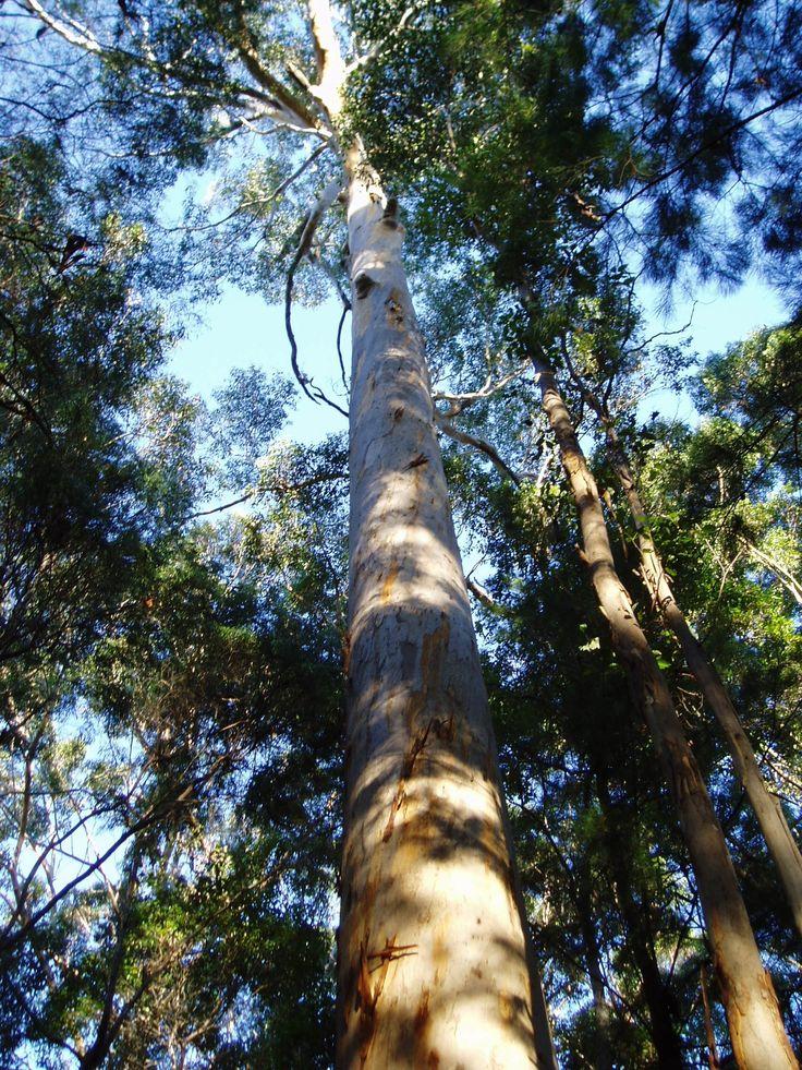 Karri - Eucalyptus diversicolor