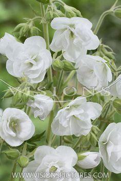 Geranium pratense Laura. A white double flowered sensation.
