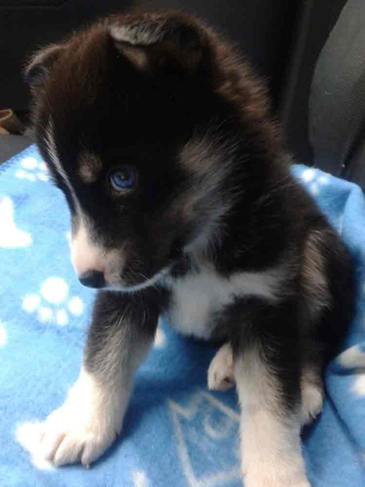Pomsky Puppies For Sale Northwest Territories Canada