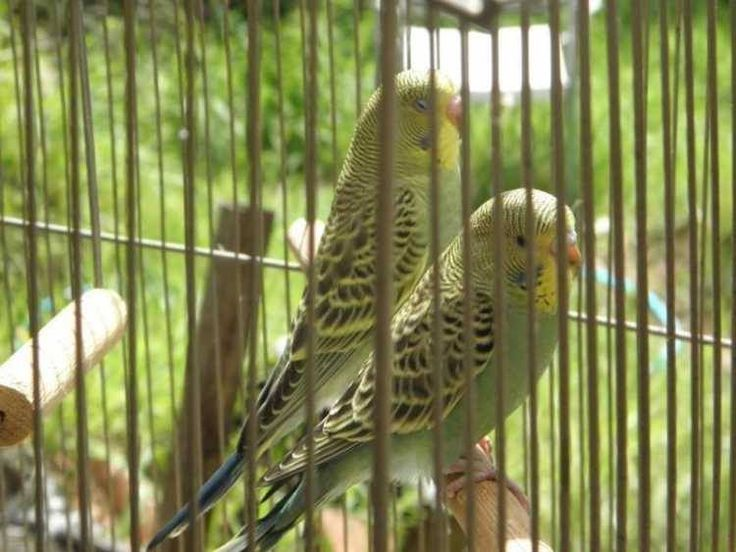 BABY BUDGIES-MANY COLOURS, MATURE BUDGIES & ENGLISH - FOR SALE  baby budgies many colours to choose ...... from $20.00  Other age budges .... from $20.00 yellow and white budgies with black eyes...from $20.00 English show budgies from $20.00  Albino and Latino budgies... price on application  READ MORE HERE http://petsplease.com.au/category/311/-/listings/2244/BABY-BUDGIES-MANY-COLOURS,-MATURE-BUDGIES-and-ENGLIS.html
