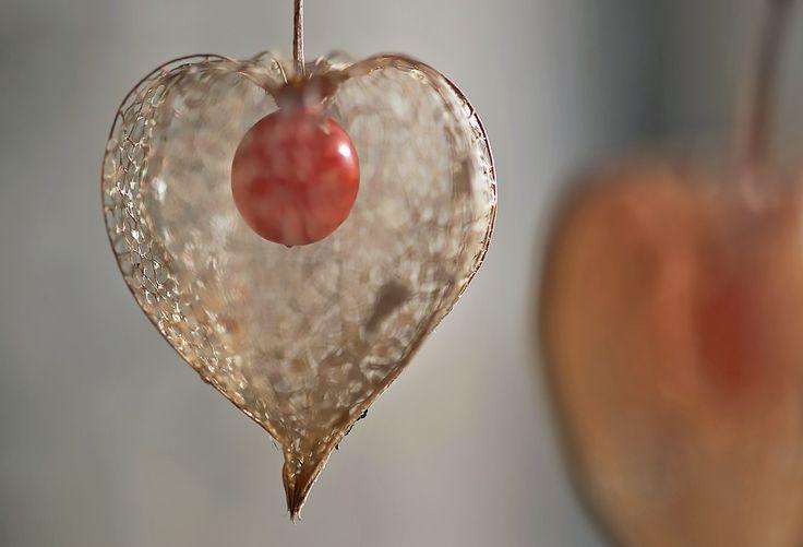 Amour en cage olivier bailleux physalis amour - Fruit amour en cage ...