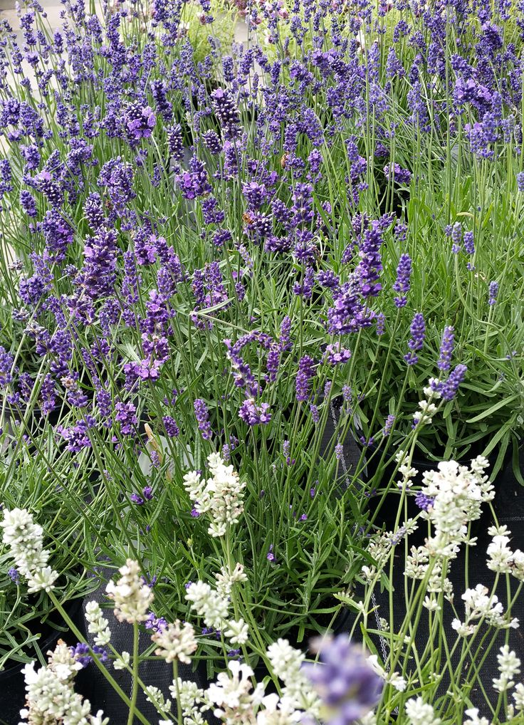 Lavender makes a beautiful addition to any garden. With distinctive grey-green scented leaves that are used in culinary and cosmetics. Flowers come in all shades from almost white to deep bluish mauve and every shade of purple in between. An easy to grow shrub that does well in poor soil and is drought  tolerant. Grow it in containers, borders and as hedging. Also beneficial to attract pollinating insects making it a must have for any garden.