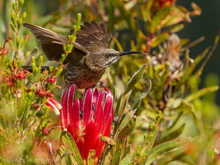 """This is MY Protea!!"" Cape Sugarbird, Helderberg Nature Reserve - Halima Beale"