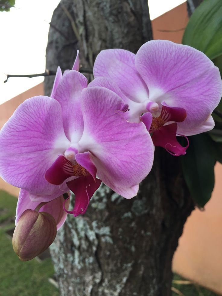 Orquídea predileta