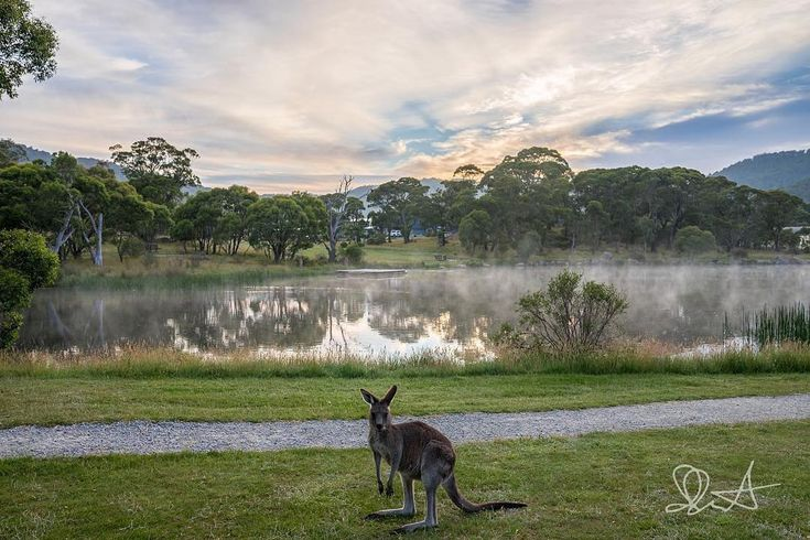 Meet one of our permanent residents of @lakecrackenback .... if youre up early hell meet you on the trail for a chat.  #skippy #casualkangaroos #aussielife #lakecrackenback #resortresident #earlyrisers #lakelife #takemeback #TakeMeBacktoCrackenback #lakecrackenbackresort . Repost @precisepix  Lake Crackenback Resort & Spa #kangaroo #snowiesinsummer #snowymountainsnsw