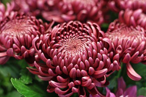 Chrysanthemum Bigoudi Purple http://holmsundsblommor.blogspot.se/2014/10/ett-snitt-av-vart-snitt.html
