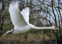 Höckerschwan – Wikipedia