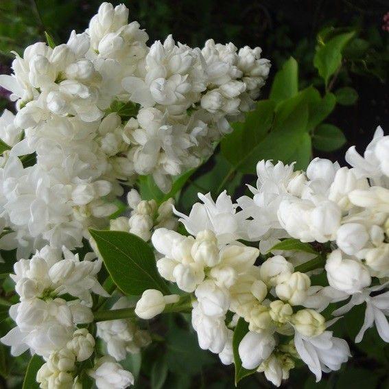 10 best Malus floribunda images on Pinterest   Flowering trees ...