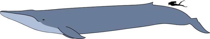 File:Blue whale size.svg