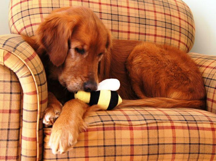 Adopt toby on dogs golden retriever dogs golden