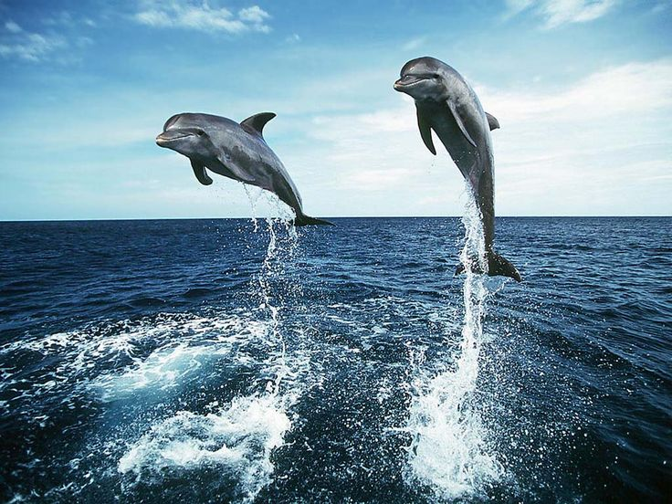 Dolphin HD Wallpapers  Backgrounds  Wallpaper  1024×768 Dolphin Wallpaper (38 Wallpapers) | Adorable Wallpapers