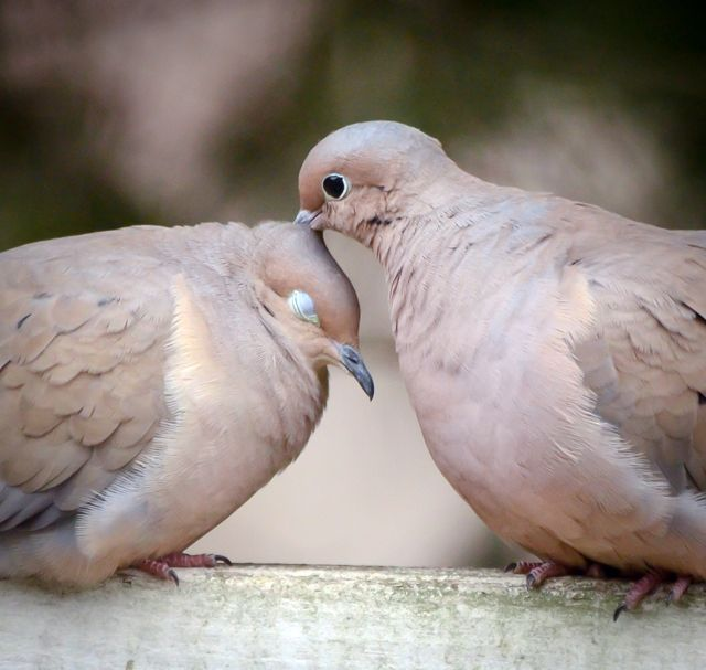 Best 25 turtle dove ideas on pinterest bird outline dove mourning doves federally protected from domestication but so freakin cute pronofoot35fo Image collections