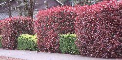 Red-Tip Photinia Flowering Shrubs and Nursery Tree Seedlings