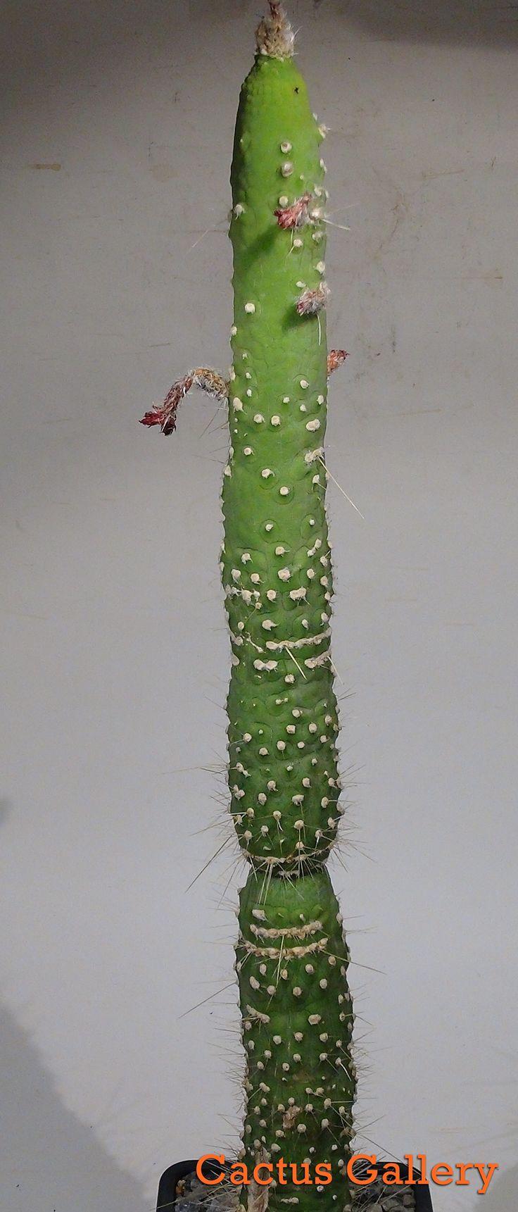 cleistocactus strausii monstruoso