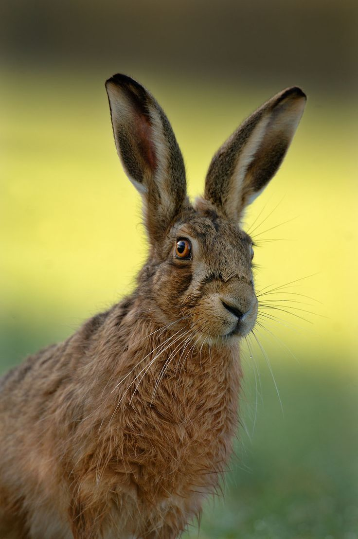 173 best hares images on Pinterest   Art print, Celtic knots and ...