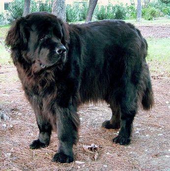 O terra-nova  é uma raça de cães   natural do Canadá . Com pelagem longa e de cores variadas (preto,  bronze e landseer), têm como caracte...