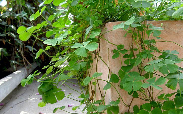 Sushni (Pflanze) Die kriechenden Triebe wachsen schnell, und können bei Topfhaltung sehr dekorativ meterlang herabhängen. Die feuchtliebende Pflanze sieht aus wie ein Klee - ist aber eigentlich eine Farnart. Die Blätter falten sich in der Nacht ein; - wie Mimosen.