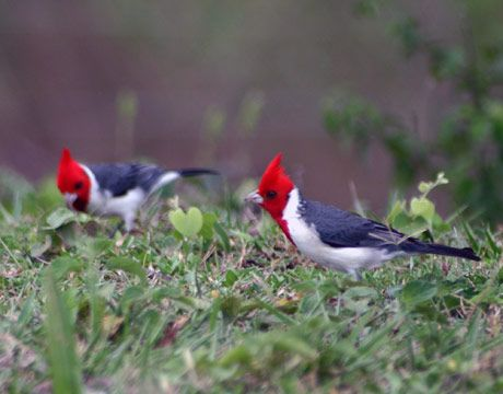 Red-Crested Cardinal  (saw these in Hawaii in 2005 & 2006, also known as the Brazilian Cardinal)