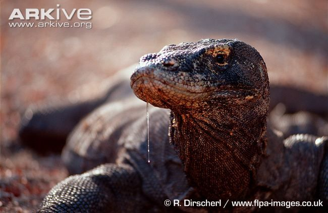 47 best images about animals komodo dragon on pinterest for Komodo dragon tattoo