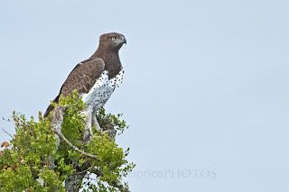 Martial Eagle, River Bend Lodge, Addo Elephant National Park, South Africa.