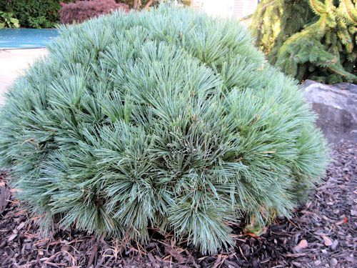 Dwarf Eastern White Pine is an evergreen conifer displaying soft delicate blue-green needles on a compact shrub.  Pinus strobus 'Nana' is hardy to zones 3-9, prefers full sun and a moderately moist slightly acidic soil.  Dwarf Eastern White Pine is slow growing reaching an eventual 3 feet tall by 4- 6 feet wide and is deer resistant.