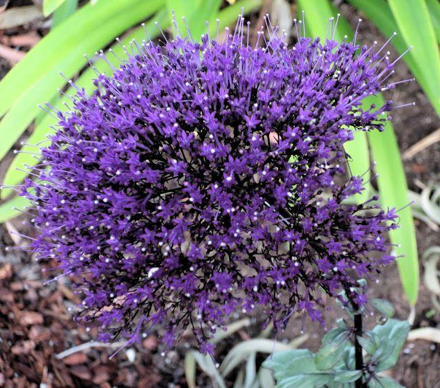 Trachelium caeruleum 'Devotion Purple'