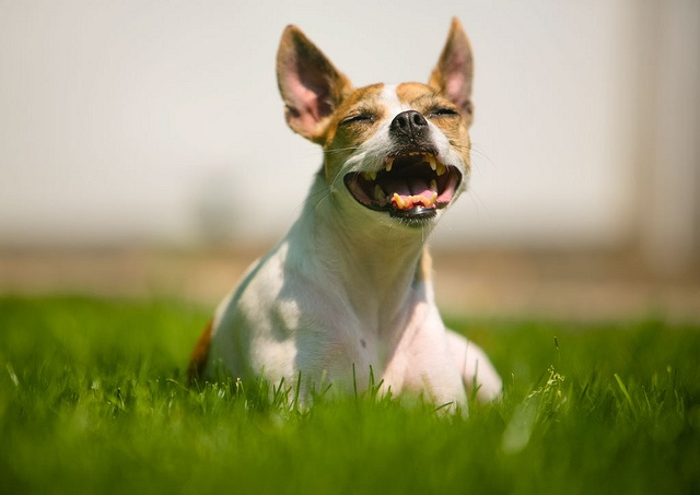 Our 3-yr old Rat Terrier, Jersey, smiling as he basks in the warmth of the sun on a hot summer's day.