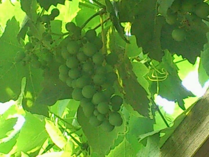 De druiven groeien goed