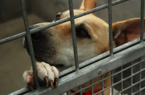 """@  Help Rescued Dogs Find Homes  -  Approved rescue shelters desperately needed to help over 130 animals rescued from an appalling """"rescue shelter"""" that left them suffering with no human interaction"""