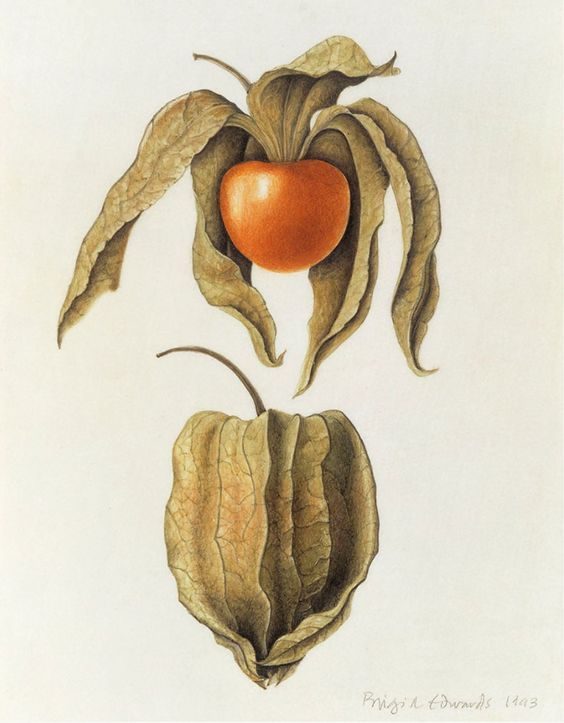 Brigid Edwards. Physalis peruviana (Cape Gooseberry) 1993, watercolour on vellum