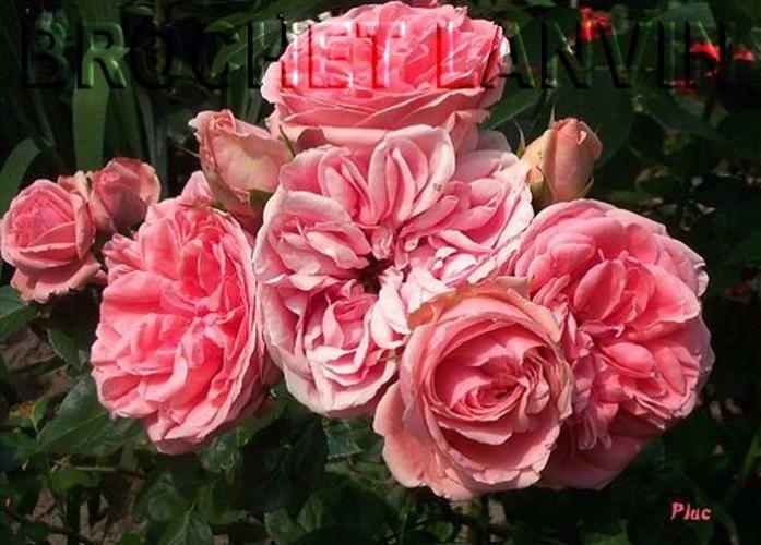 Rosa 'Kimono' - Rosier polyantha à fleurs groupées