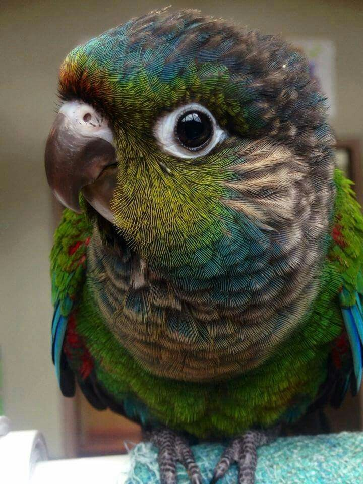Green Cheeked Conure. Reminds me so much of my Kiki when she was a baby