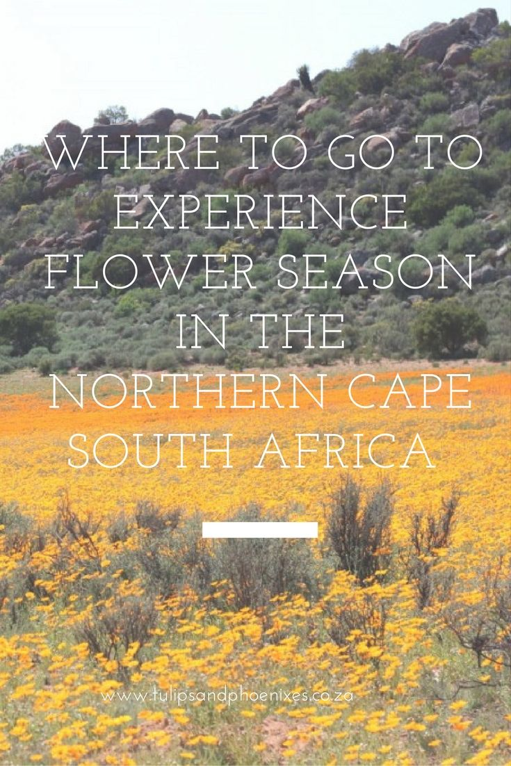 If you've ever wanted to see the beautiful flowers of Namaqualand then this is the post for you. Flower season in the Northern Cape attracts thousands of tourists each year and it's easy to see why. Click to find out where the best places in the Northern Cape are to see flowers!