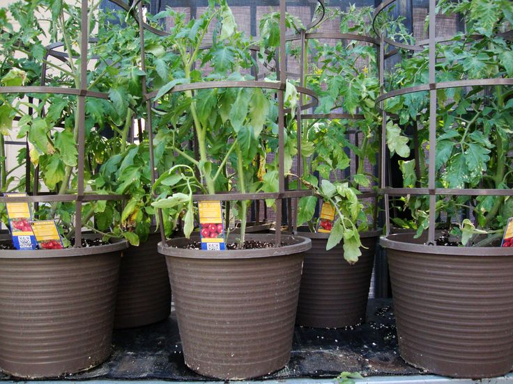 Tips for Growing Tomatoes in Containers