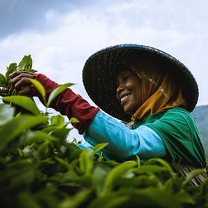 A tea picker in the field smiles as she works, Cianjur, west Java