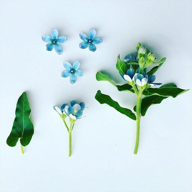 T W E E D I A . deconstructed #oxypetalum #tweedia #blue #bluesuede #Korea #seoul #botanicaldeconstruction #botanicalobservation