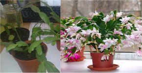 A karácsonyi kaktusz nagyon sok virágot hoz, ha jól gondozod! - Kertészkedek.hu