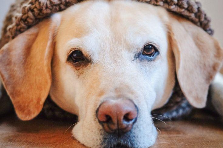 Blutbild Beim Hund Das Blutbild Beim Hund So Interpretierst Du Es Als Hundebesitzer Vet Dogs Dein Online Tierarzt Mit Hundebesitzer Hunde Gesunde Hunde