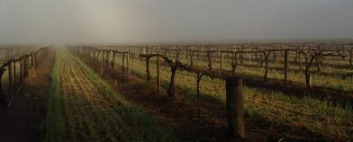 Rusden vineyard in fog