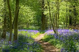 There is nothing more beautiful in spring then a bluebell wood.