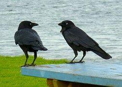 Bills, Mustat Linnut, Keskustelu