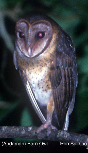 49 best Owl Species images on Pinterest | Owl species ... - photo#36