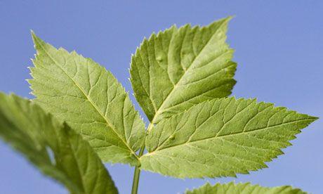 Elder leaf(http://www.theguardian.com 2013)