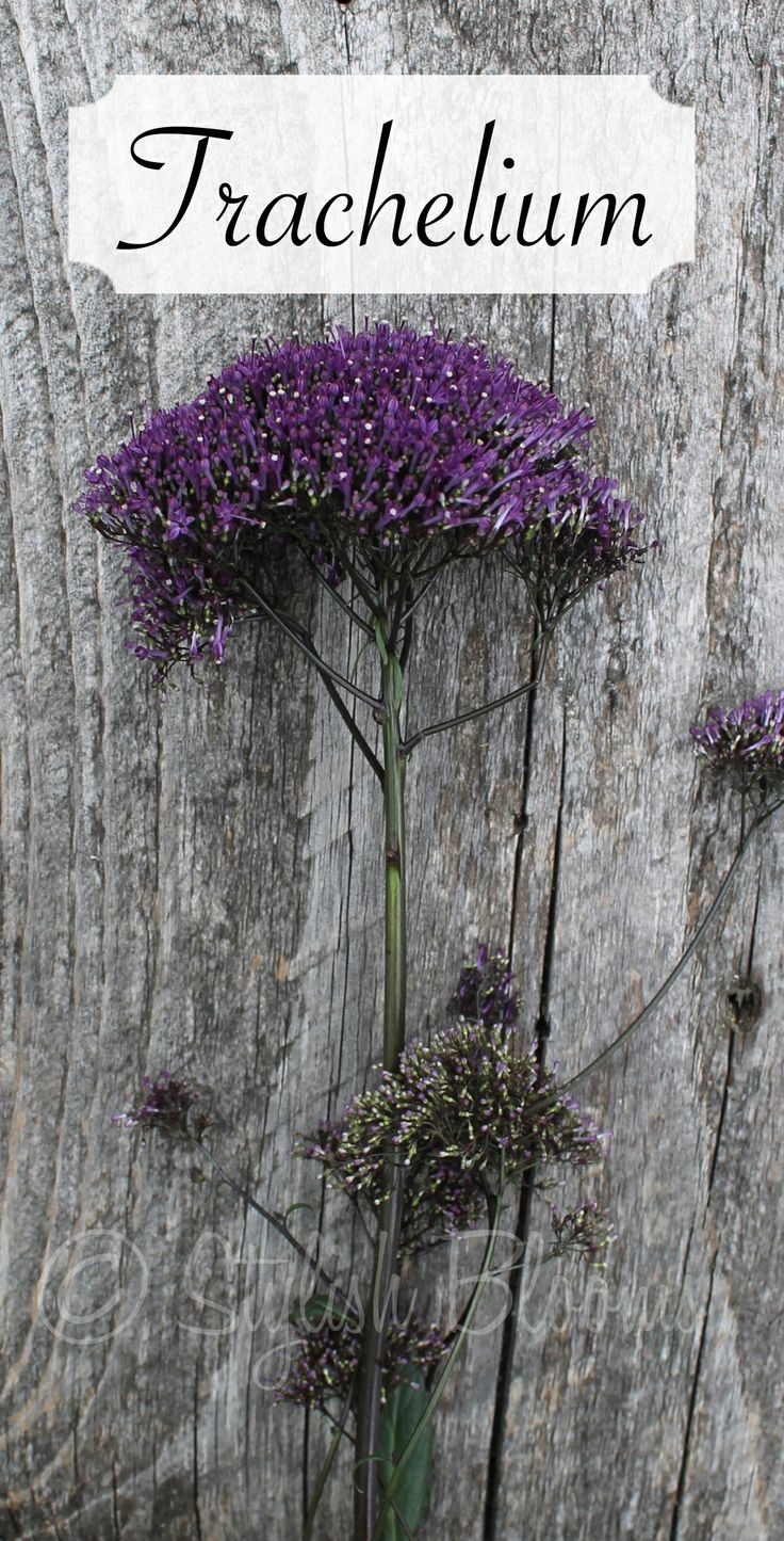 Purple Trachelium flowers are available for Brides in Scotland in February. Contact the Stockbridge Flower Company for more details.